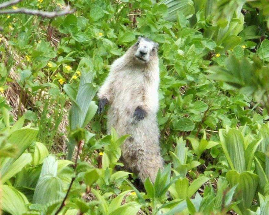 6-26-2007-am-10-50-59-hoary-marmot-a