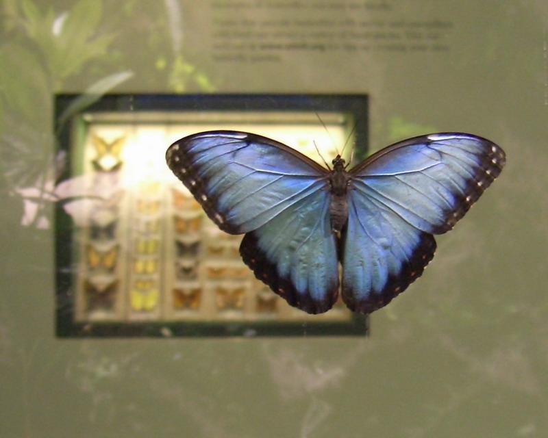 blue-morpho-2-20-2005-7-04-33-pm-800x640
