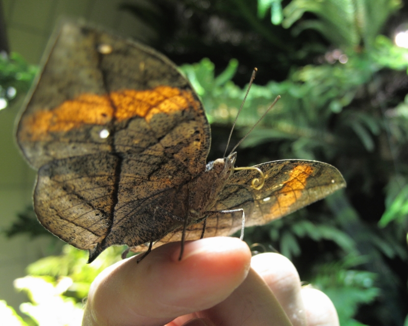indian-leafwing-10-12-12-17-b