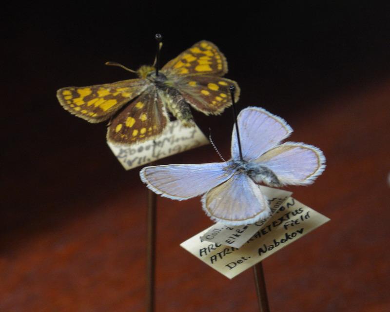nabokovs-butterflies-09-11-01-8-a