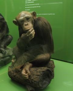 Meshie the chimp