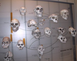 Hominid Family Tree
